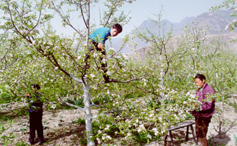 'Human bees' enacting hand pollination by gathering pollen granules and dispersing them onto flowers. A repeated practice in South-West China where 'development' has wiped out all local bee species in th area.