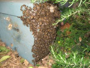 Swarm of bees which gathered in a private garden in Birkirkara (the firstmost case, with very pleasant and helpful landlords) - Spring 2015